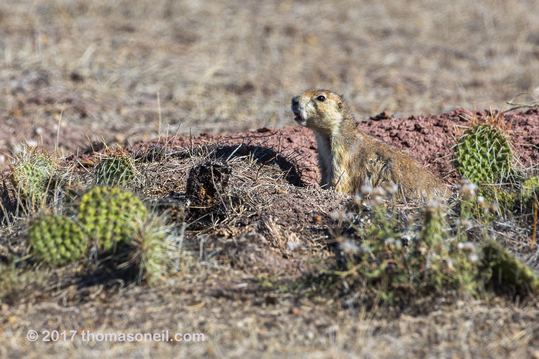 Prairie dog among the cacti in the Conata Basin, South Dakota, September 2017.  Click for next photo.