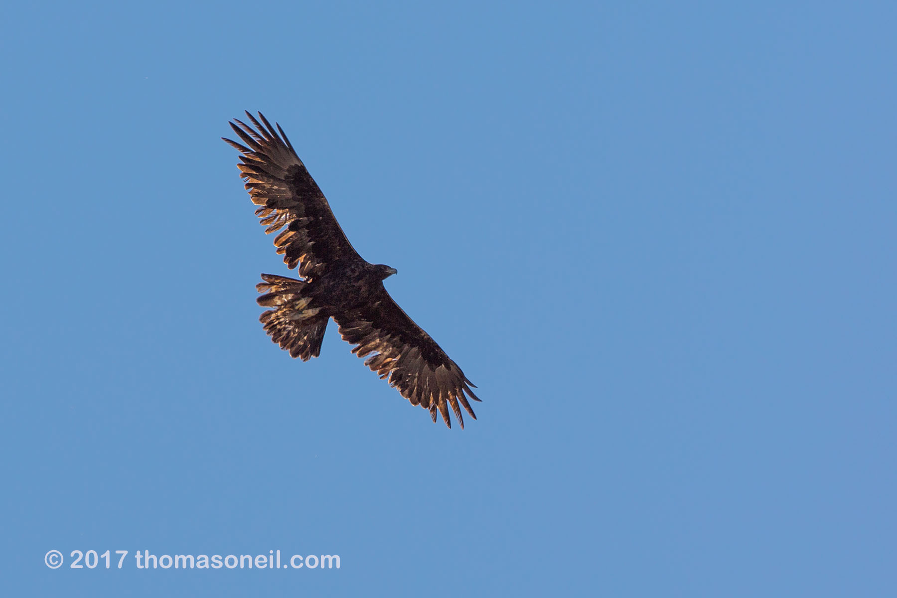 Golden eagle soars above the Conata Basin, South Dakota, September 2017.  Click for next photo.