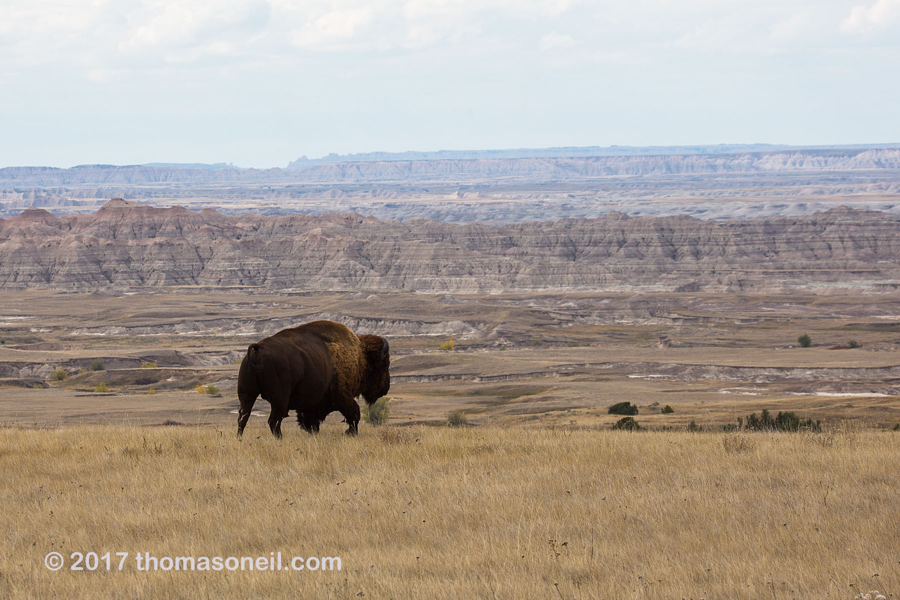 A solitary bison looking for a spot to graze along the rim above the Badlands, South Dakota, September 2017.  Click for next photo.