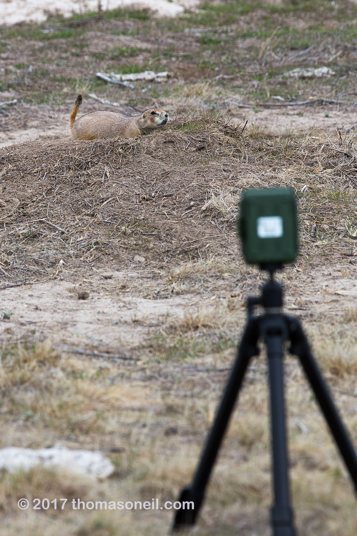 Trailcam setup in a prairie dog town, Conata Basin, South Dakota, September 2017.  This temporary setup resulted in a video of a badger.  Click for next photo.