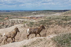 Badlands Bighorns