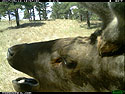 Elk caught scratching himself on my camera or the tree or something, May 13, 2017.