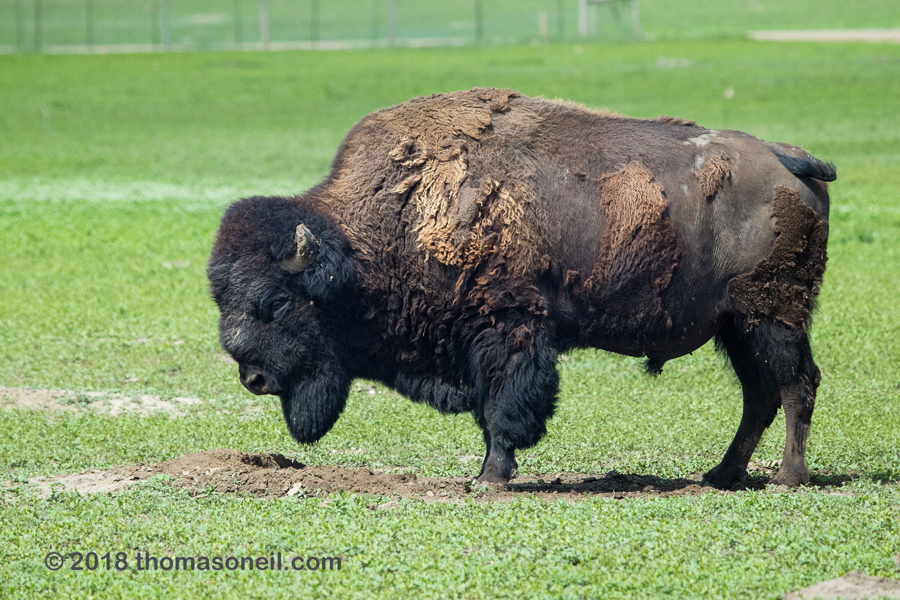 Bison posing for a nickel, Badlands National Park.  Click for next photo.