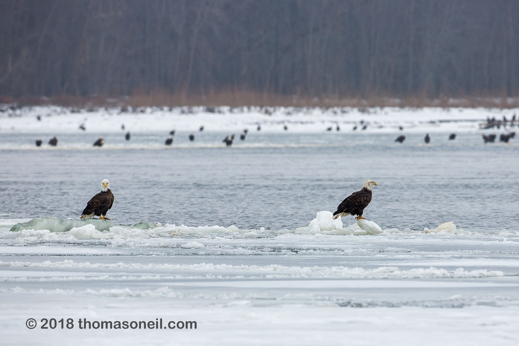 Bald eagles on the Mississippi River ice, Lock and Dam 18, Illinois, January 2018.  Click for next photo.