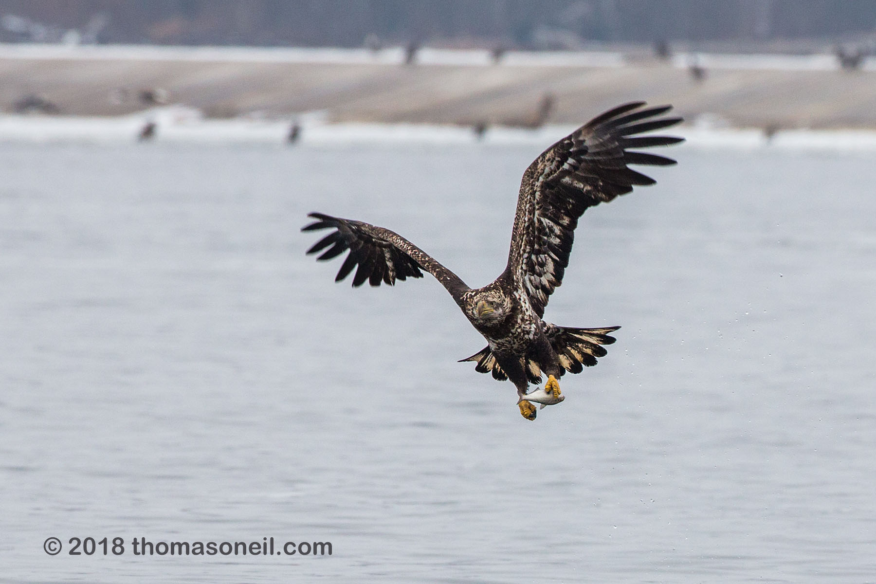 Juvenile bald eagle with fish, 8 of 13 in sequence, Lock and Dam 18, Illinois, January 2018.  Click for next photo.