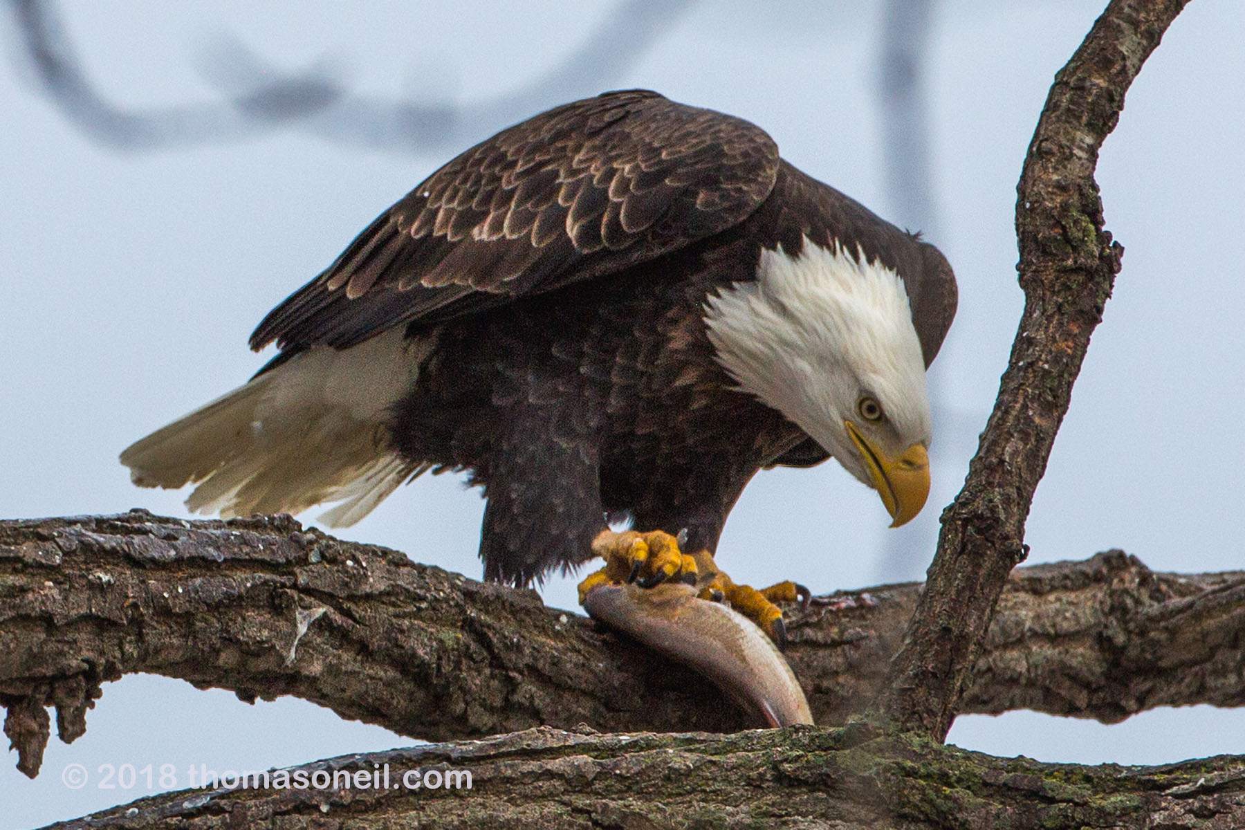 Bald eagle eating fish, 3 of 7 in sequence, Keokuk, Iowa, January 2018.  Click for next photo.