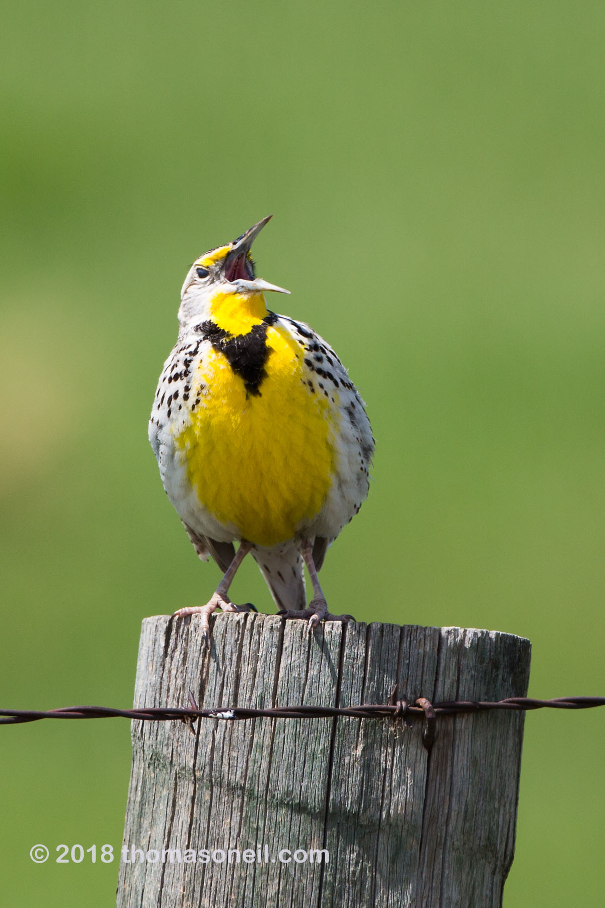 Meadowlark, Custer State Park.  Click for next photo.