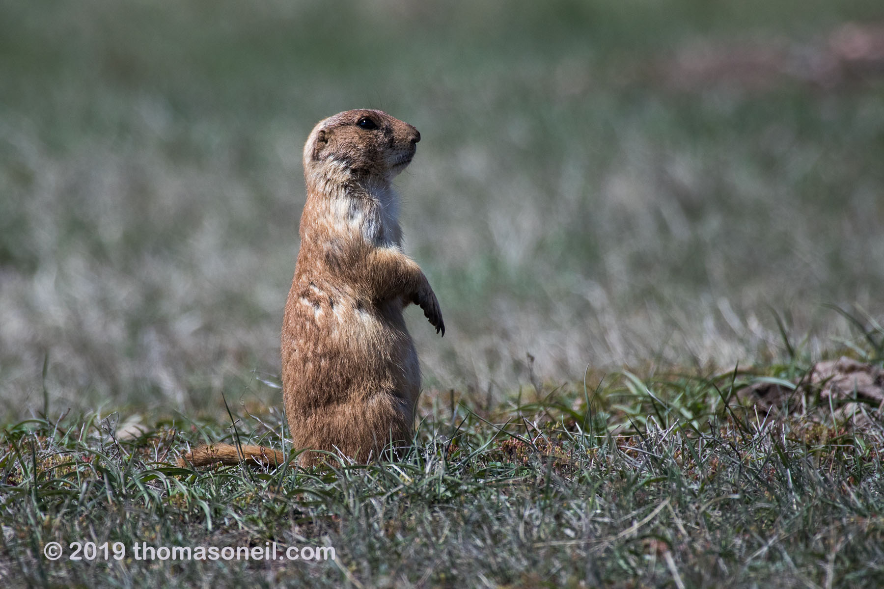 Prairie dog, Wind Cave National Park, May 2019.  Click for next photo.
