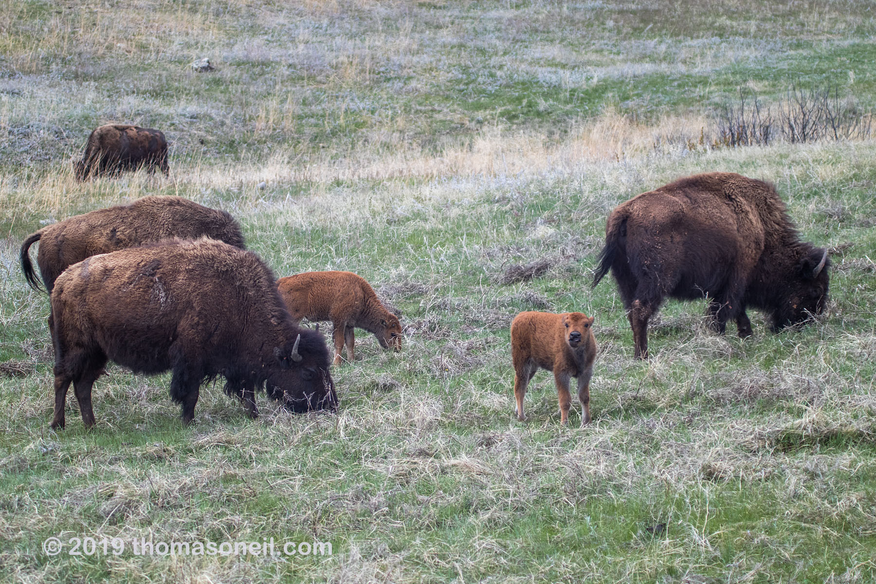 Bison, Custer State Park, May 2019.  Click for next photo.