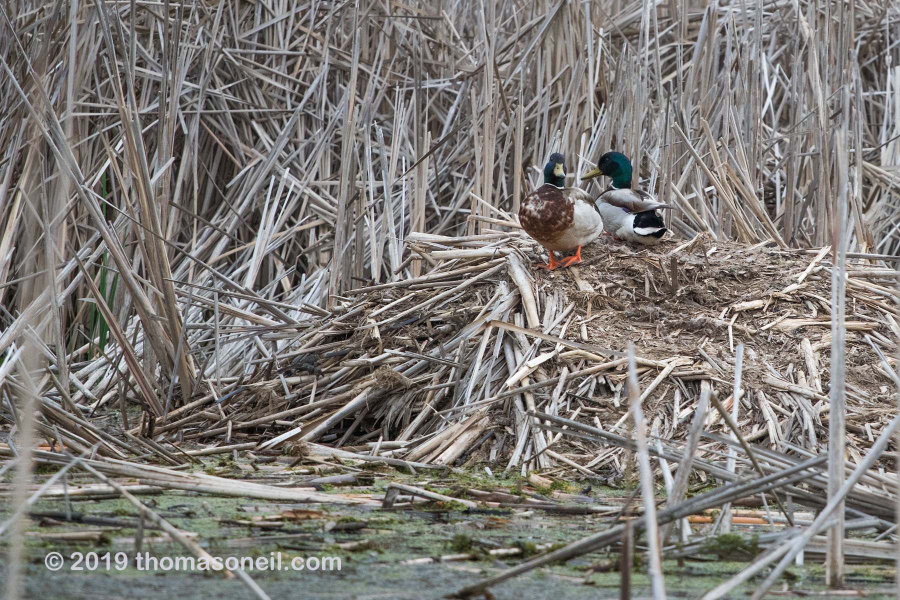 Sneaking in three images from close to home, starting with ducks on what I believe is a muskrat hut in a pond near my house, May 2019.  Click for next photo.