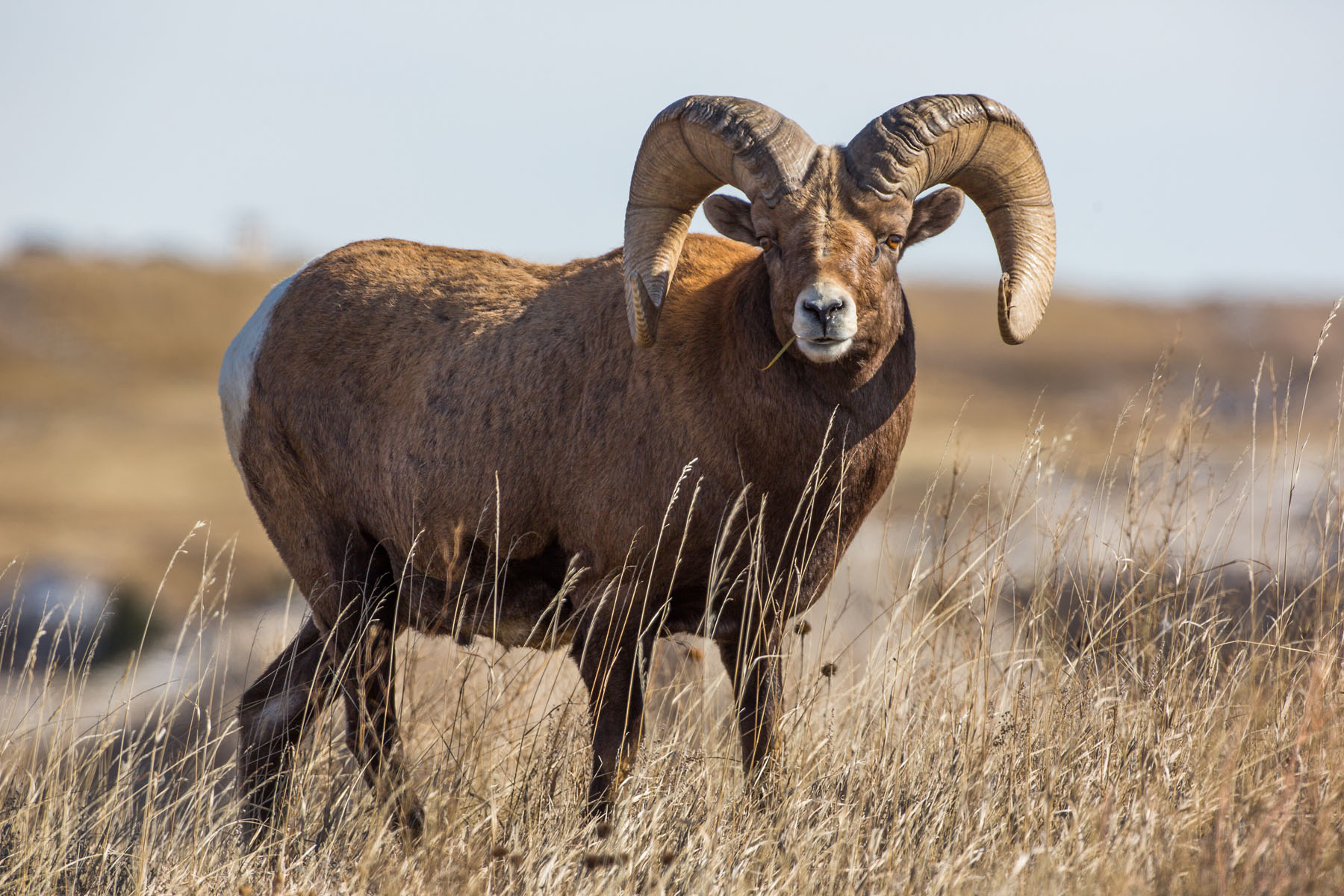 Bighorn, Badlands National Park, November 2019.  Click for next photo.