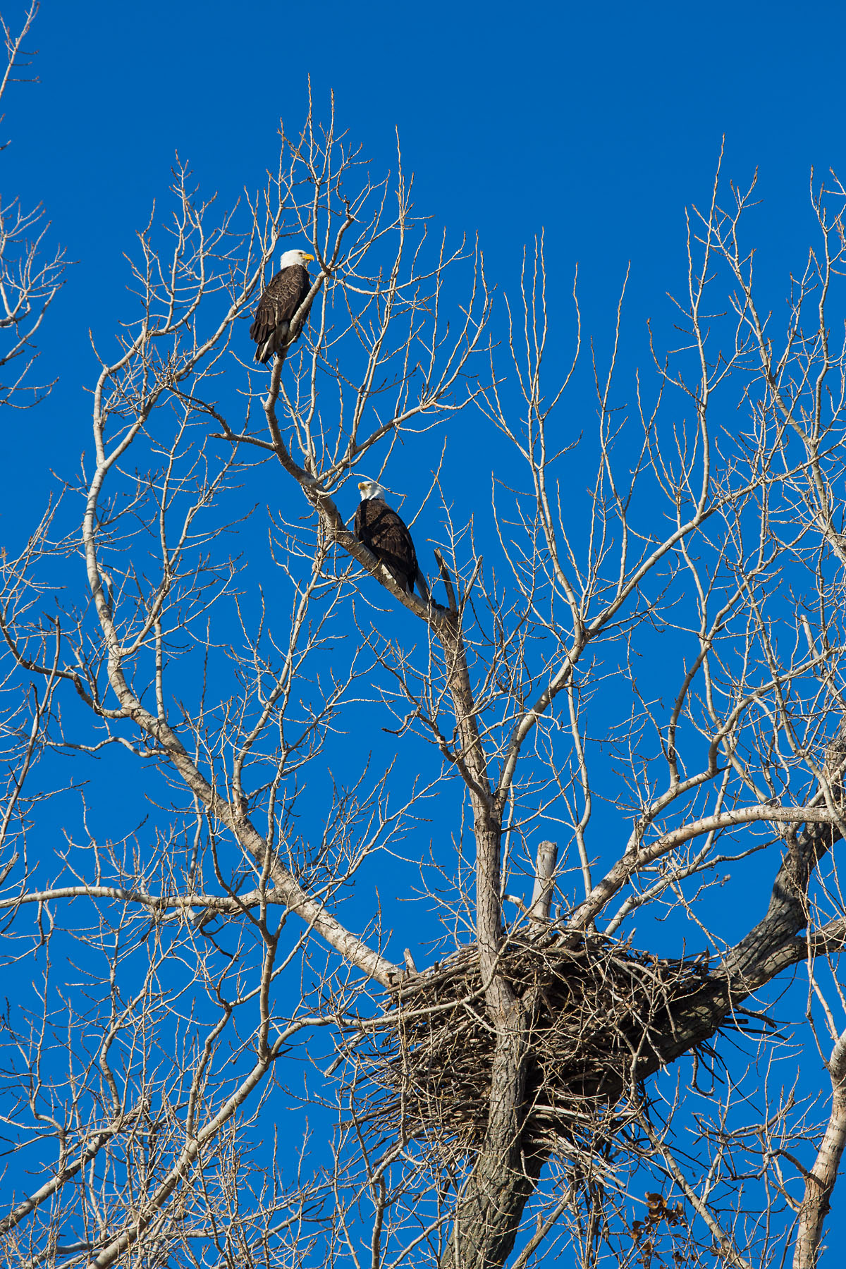 Bald Eagles near the nest, Loess Bluffs NWR, December 2019.  Click for next photo.