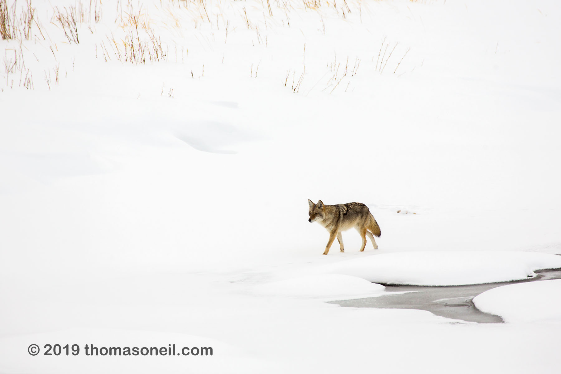 Coyote on the frozen Madison River, Yellowstone National Park, January 25, 2019.  Click for next photo.