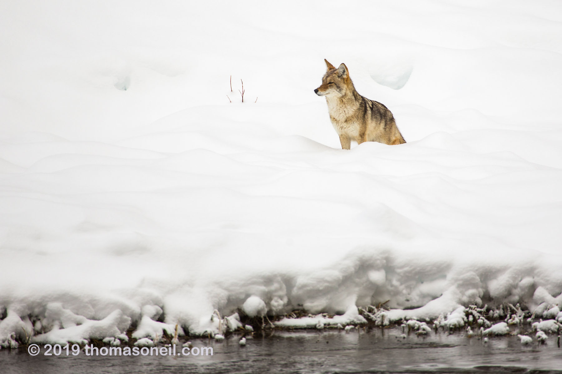 Coyote along the Madison River, Yellowstone National Park, January 25, 2019.  Click for next photo.