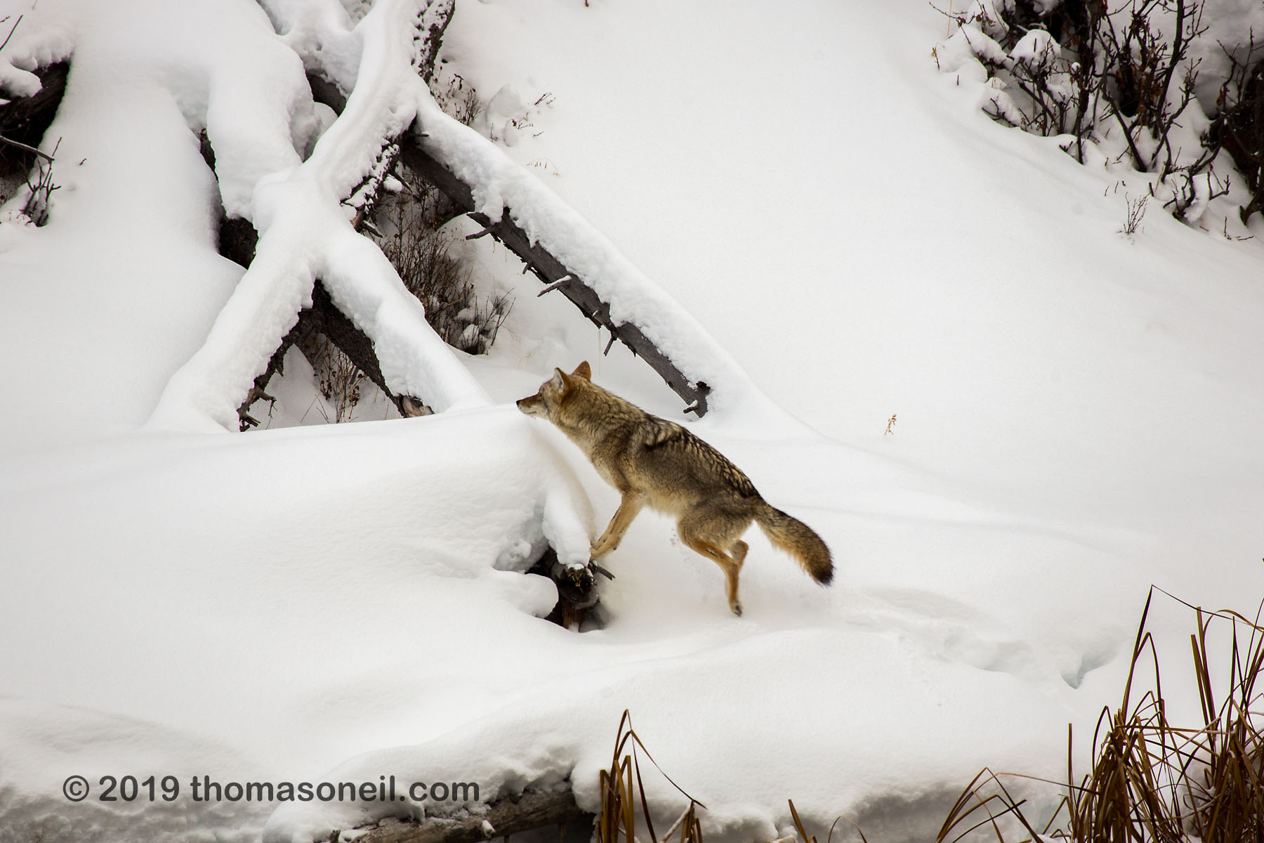 Coyote jumps up to the fallen tree, Yellowstone National Park, January 25, 2019.  Click for next photo.