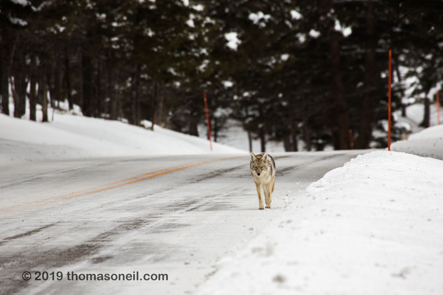 Coyote ambling down the road between Tower and Lamar Valley, Yellowstone National Park, January 30, 2019.  Click for next photo.
