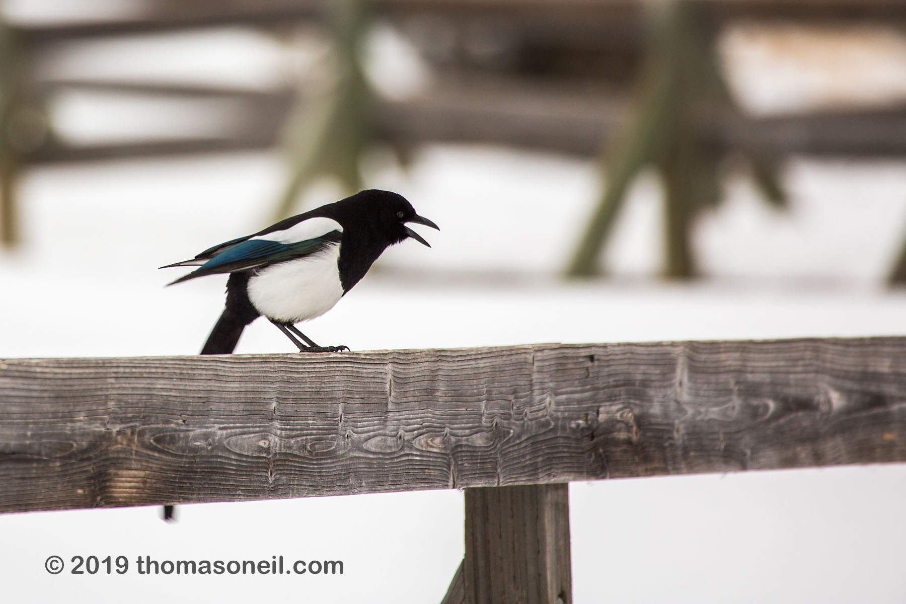 Magpie, Mammoth Hot Springs, Yellowstone National Park, January 31, 2019.  Click for next photo.