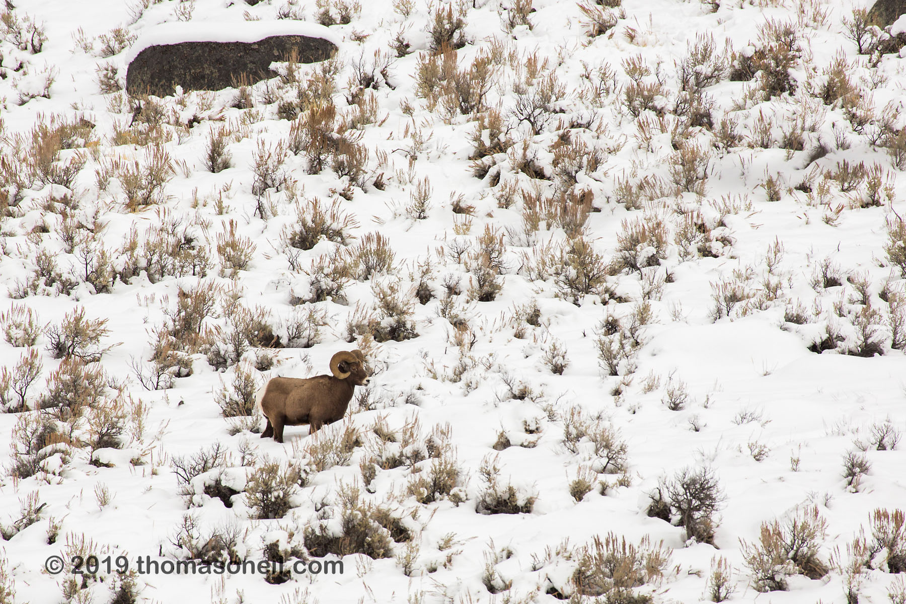 Bighorn between Mammoth and Tower, Yellowstone National Park, January 31, 2019.  Click for next photo.