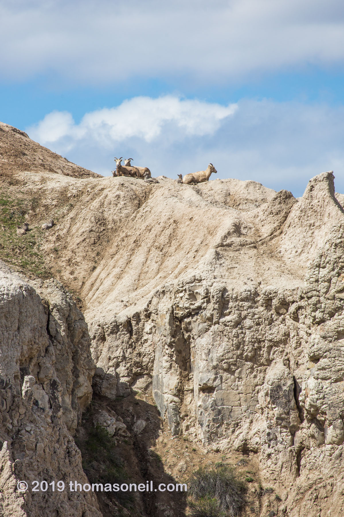 Bighorns on the peak above Ancient Hunters Overlook, Badlands National Park, May 2019.  There are three ewes and three lambs in this image.  Click for next photo.