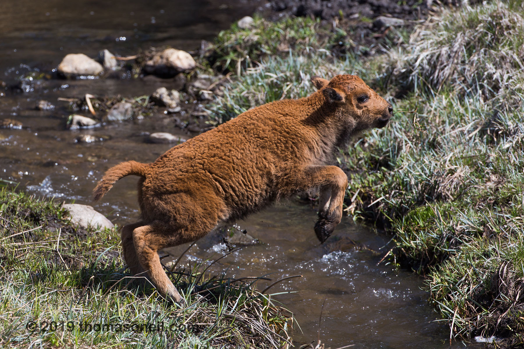 Baby bison launches, Custer State Park, May 2019.  Click for next photo.