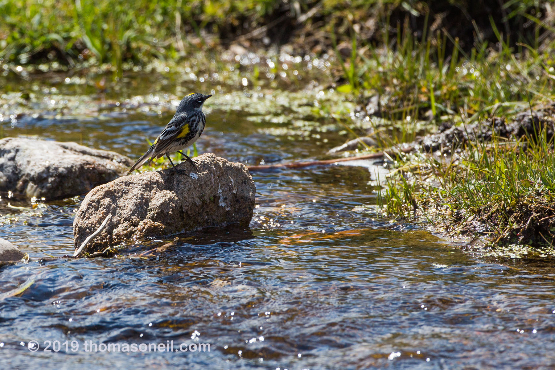 Bird in a stream, Wind Cave National Park, May 2019.  The closest I can come to a bird ID is Yellow-rumped Warbler, Myrtle variety.  Click for next photo.