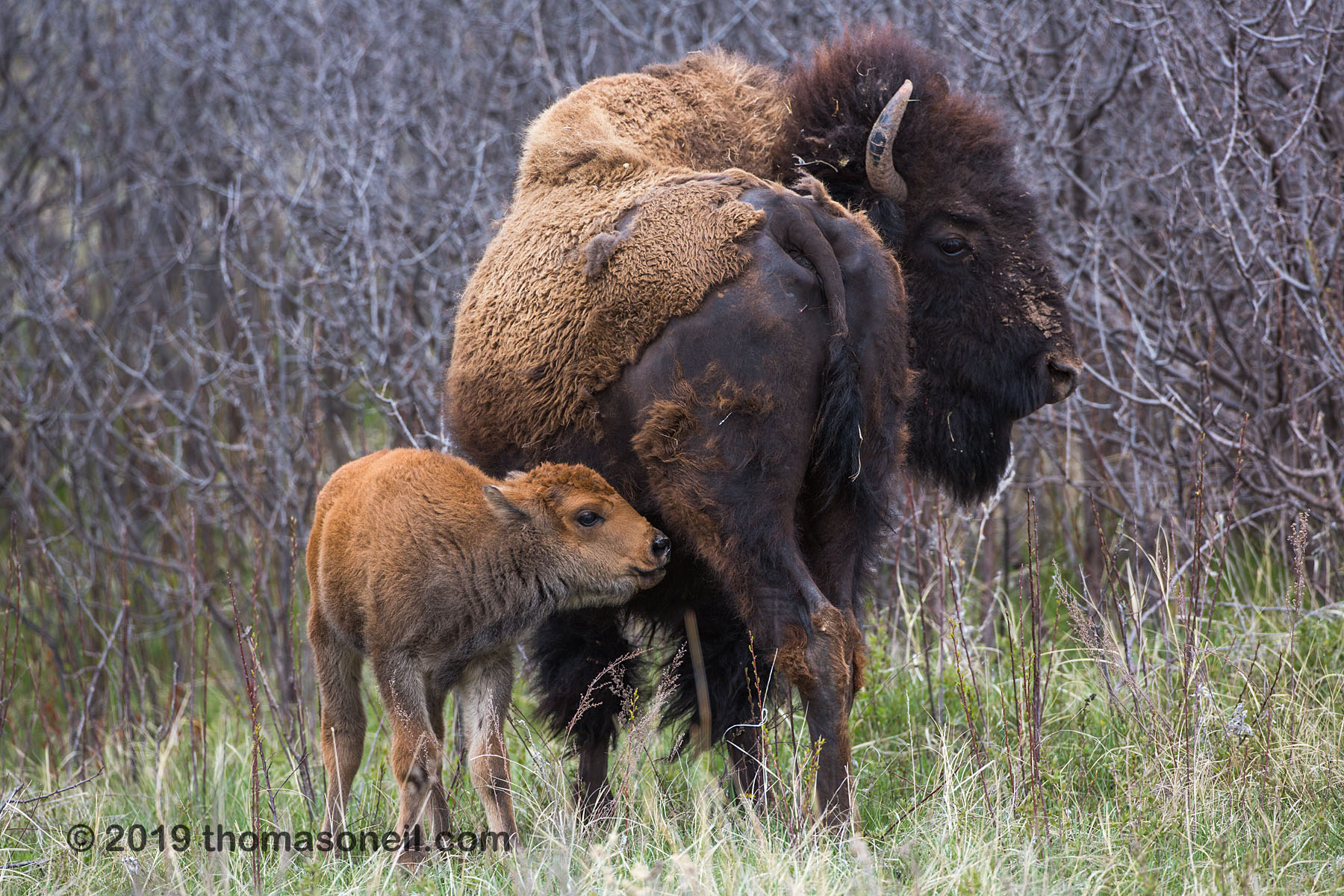 Baby bison looking for milk, Custer State Park, May 2019.  Click for next photo.