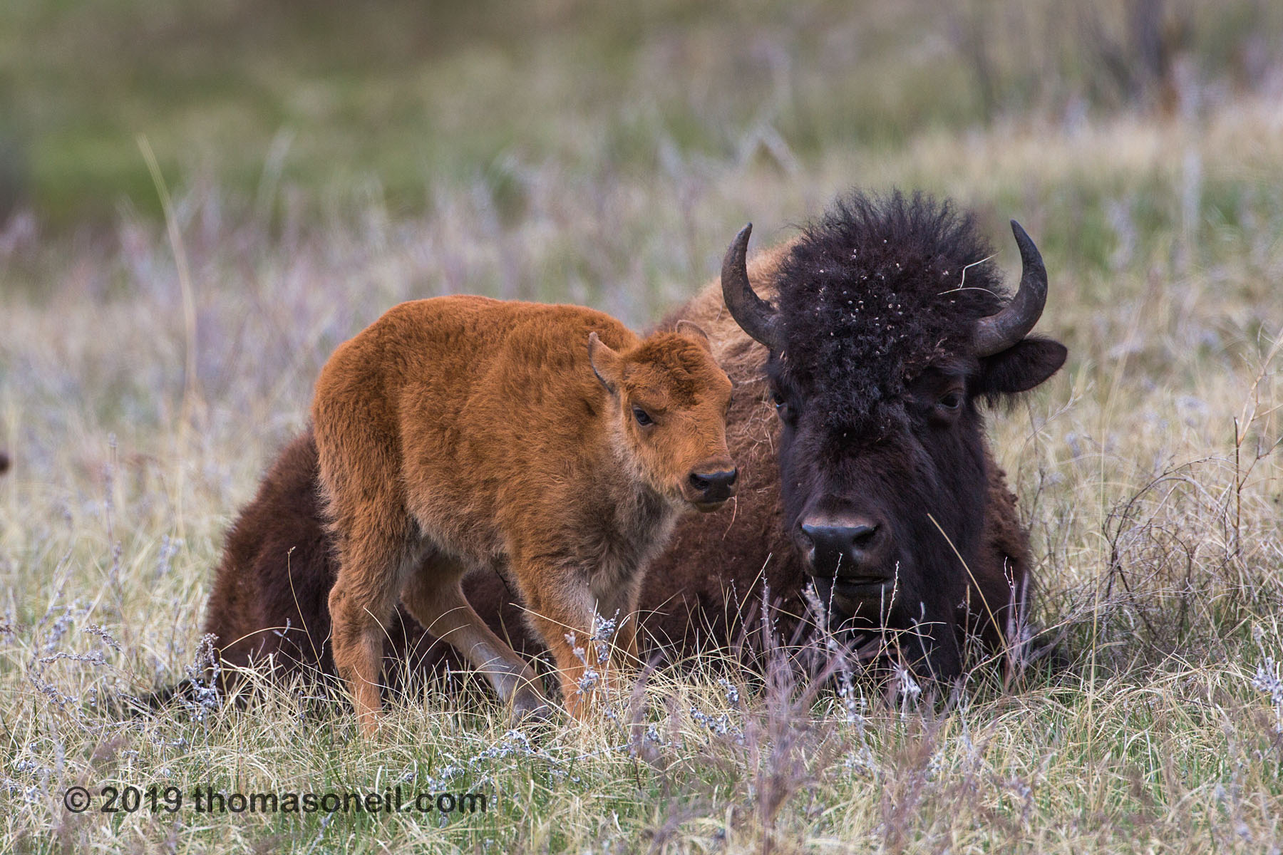 Bison relaxing, Custer State Park, May 2019.  Click for next photo.