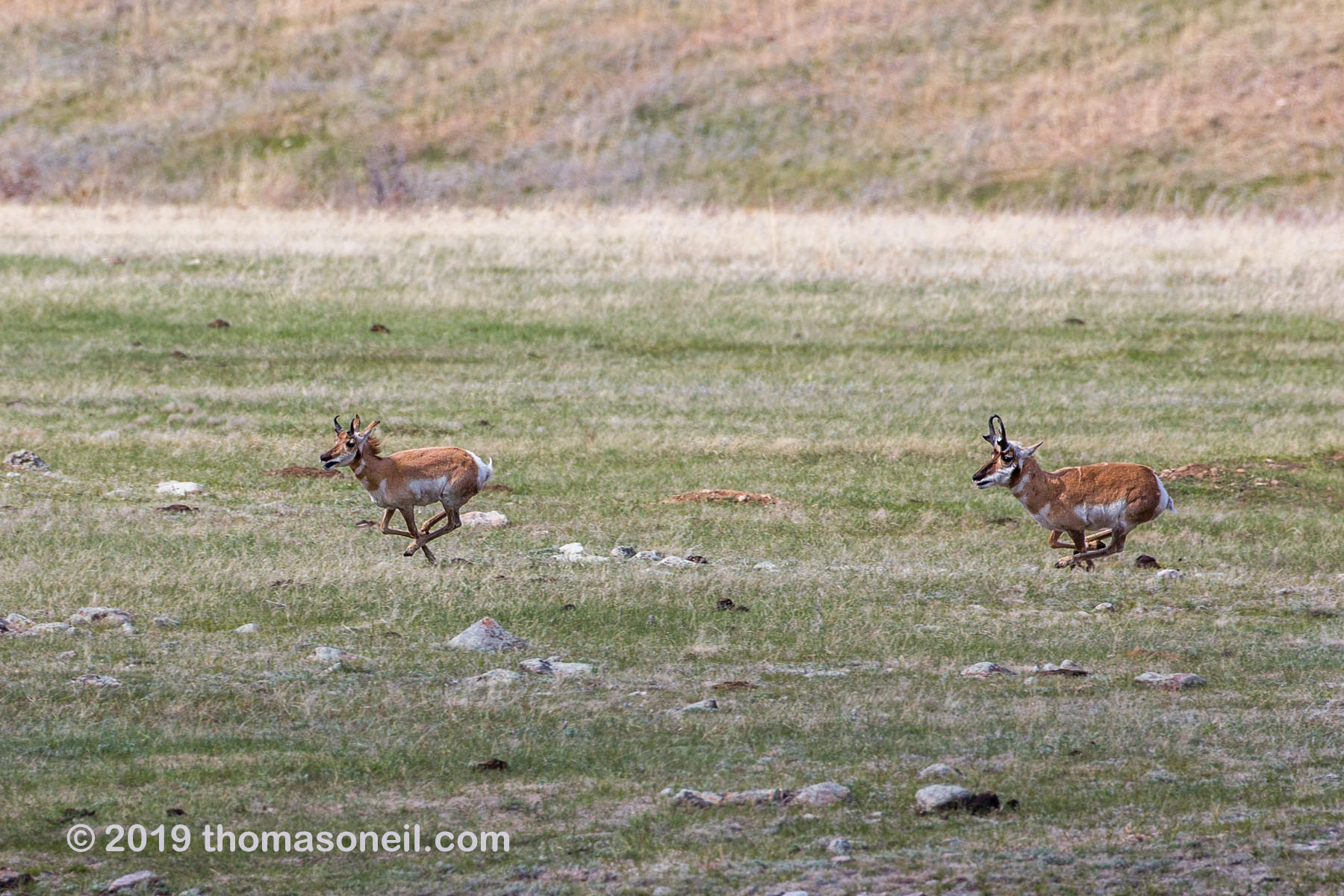 The old pronghorn buck chases a member of its herd, Custer State Park, May 2019.  Click for next photo.
