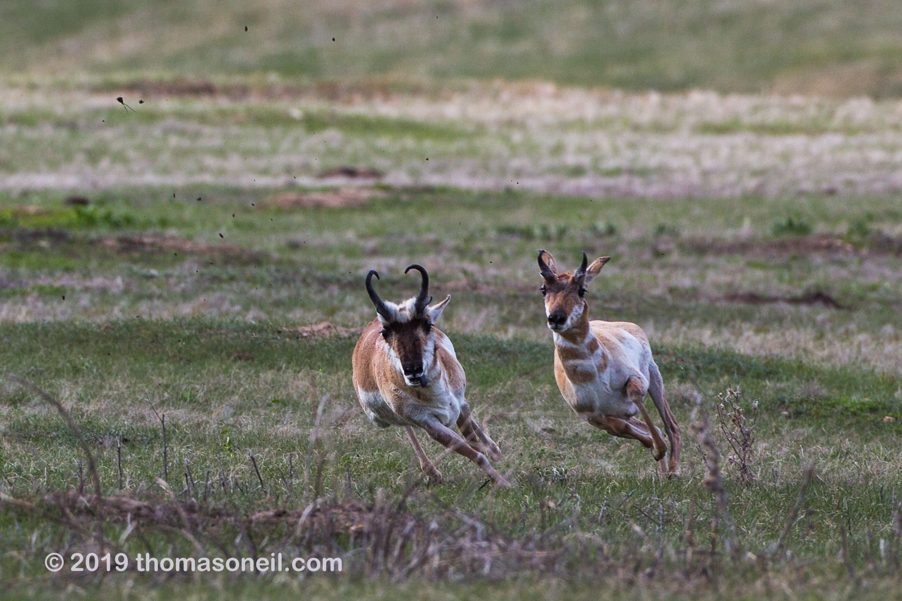 The old pronghorn buck (left) chases a member of its herd, Custer State Park, May 2019.  Click for next photo.