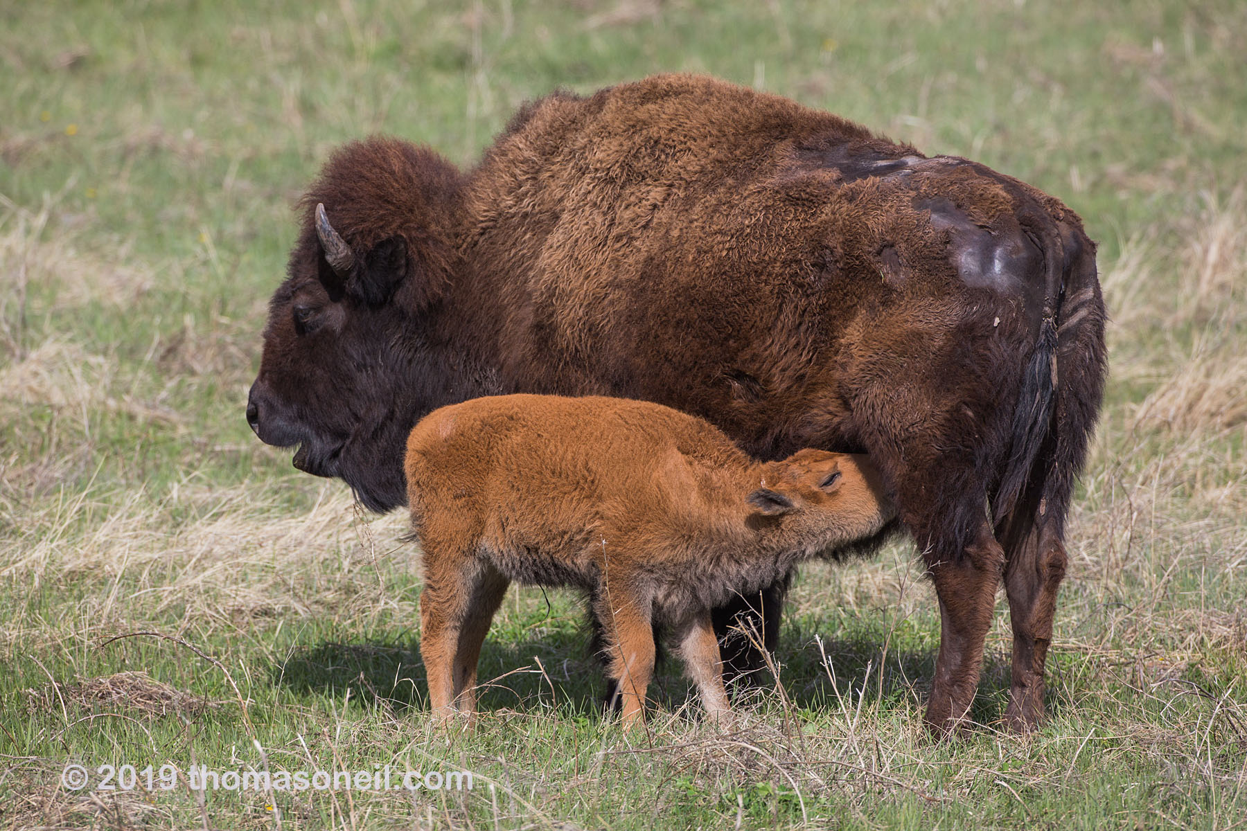 Baby bison finds milk, Custer State Park, May 2019.  Click for next photo.