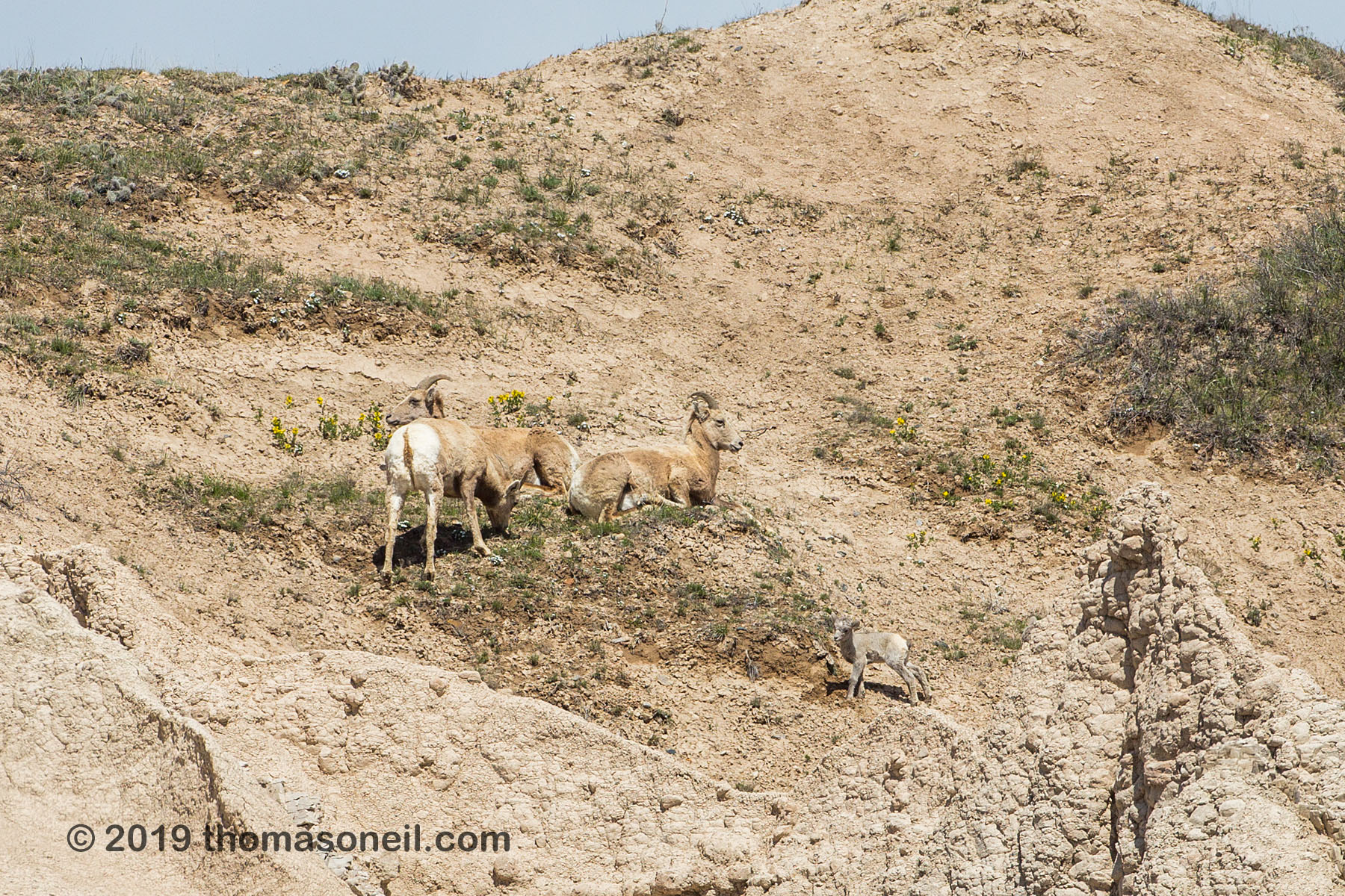 Bighorns on the peak above Ancient Hunters Overlook, Badlands National Park, May 2019.  There is a lamb at lower right.  Click for next photo.