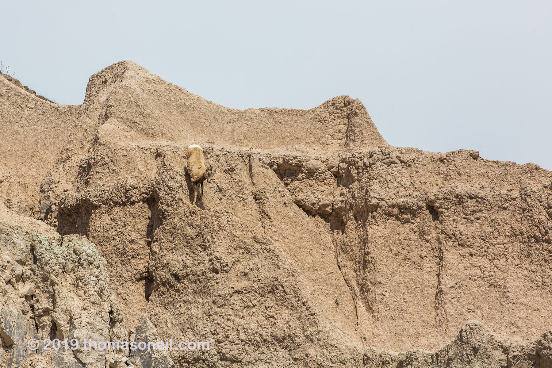 Bighorn on the peak above Ancient Hunters Overlook, Badlands National Park, May 2019.  Click for next photo.