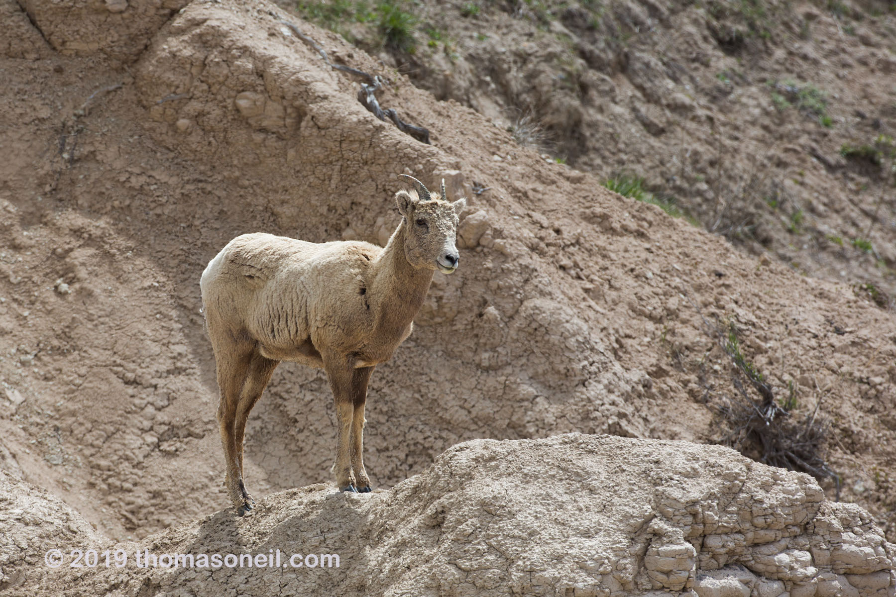 Bighorn ewe, Badlands National Park, May 2019.  Click for next photo.